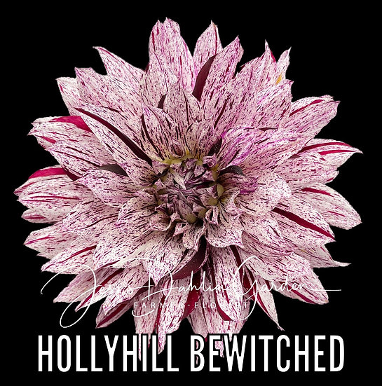 Hollyhill Bewitched