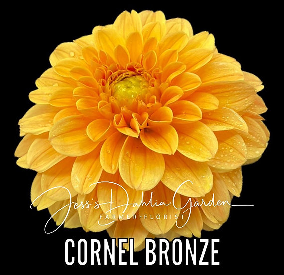 Cornel Bronze