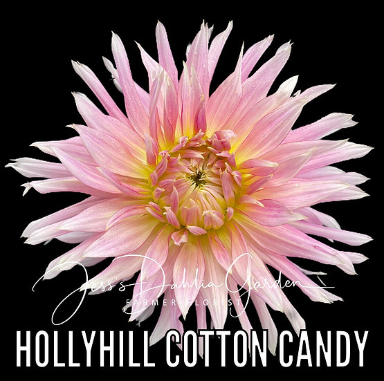 Hollyhill Cotton Candy