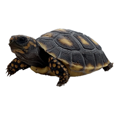 Colombian Redfoot Tortoise