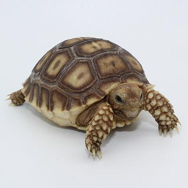 Well Started Sulcata Tortoise