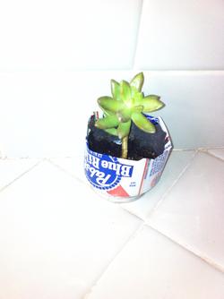 Succulent Diego