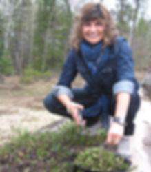 Harvesting kinnikinnick in Boreal forest.jpg