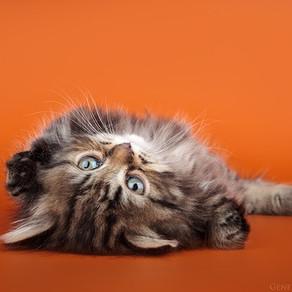 Вы решили приобрести котёнка
