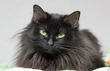 Лори, кошка, 2 года.jpg