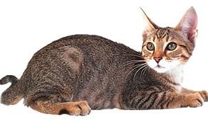 Натуралка - как правильно кормить кошку