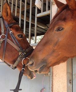 פנסיון סוסים כישורית