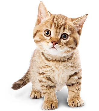 22193-3-adorable-cat.png