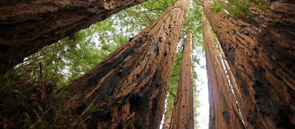 Redwoods Support  One Another