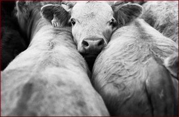 vaches.jpg