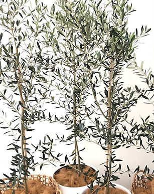 Olive Natural and White.jpg