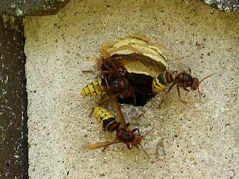hornets-189498_640.jpg