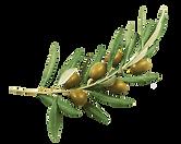 png-transparent-education-olive-olive-oil-olive-branch-plants-education-history-fruit.png