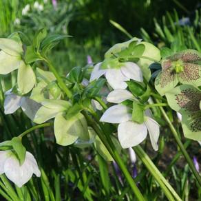 Inheritance plants