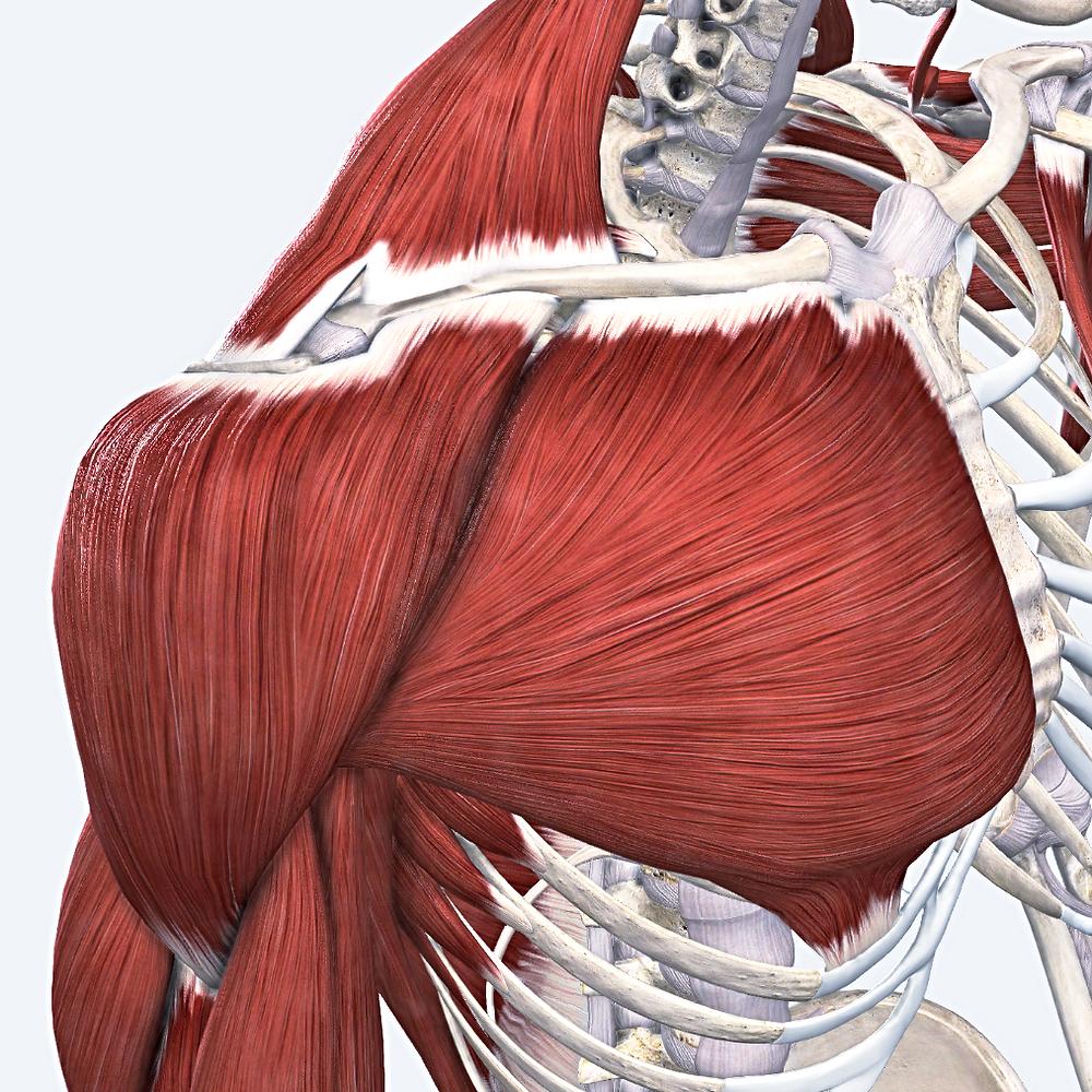 shoulder girdle yoga anatomy human