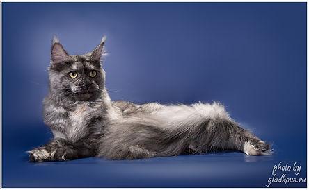 мейн-кун питомник , котята мейнкун