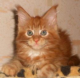 Мейн-кун котята, купить котенка мейн-кун