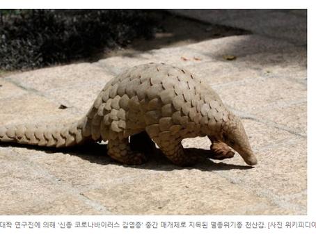 """""""코로나 사람전파 가능성"""" 천산갑, 정력제 소문탓에 멸종위기 모바일바둑이"""