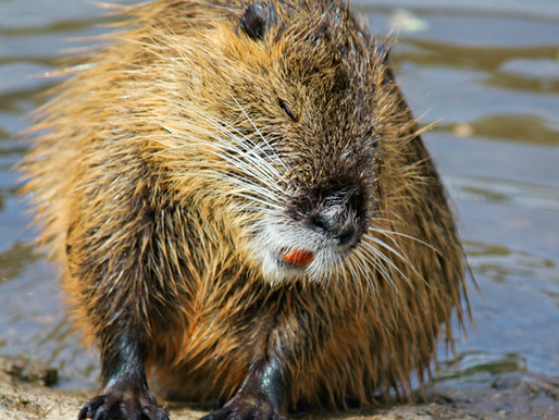 Canada's National Animal, the Beaver