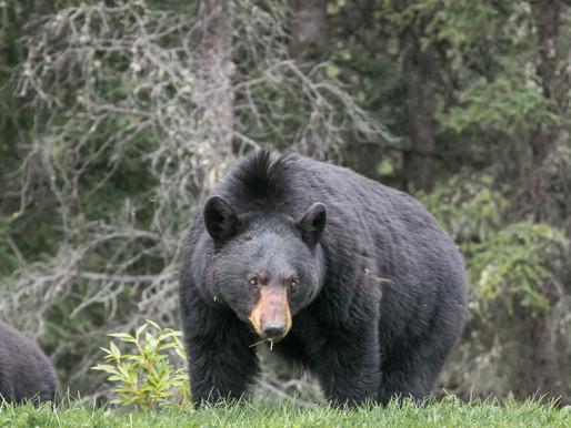 Ontario's Black Bears