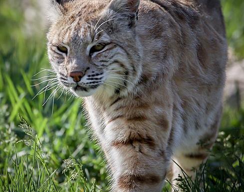 Ontario's Wild Cats