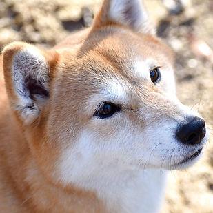 柴犬0520.jpg