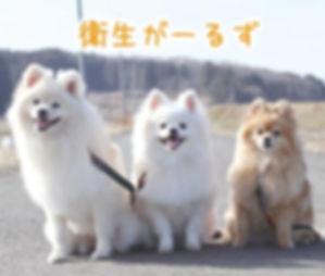 ポメラニアン ポメ ベストテーブル 犬 愛犬 わんちゃん ルーシーちゃん・シェリーちゃん・アニーちゃん、ポメラニアン3姉妹