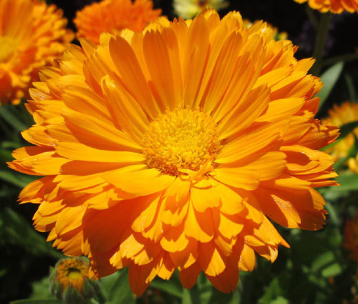 Calendula Oil for Radiotherapy Skin Relief