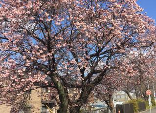 中之島の桜も開花!