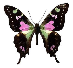Rosa och svart fjäril
