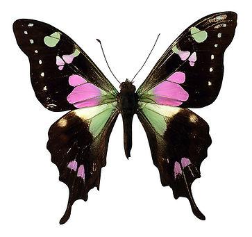 Rose et noir papillon
