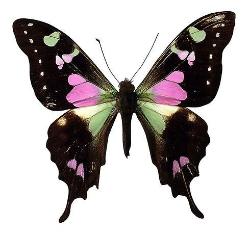 Rosa und schwarzer Schmetterling