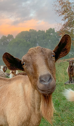 toffee_rainbow_goats_edited_edited_edited.png