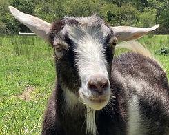 Millie_rainbow_goats_edited.jpg