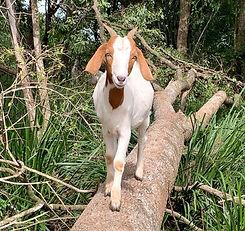 Bobby-Jo_rainbow_goats.jpg