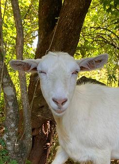 Cindy_rainbow_goats.jpg