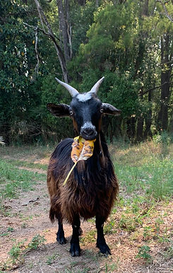 Maggie_rainbow_goats.jpg