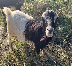Posh_Spice_rainbow_goats.jpg