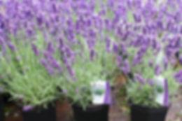 lavender plants.jpeg