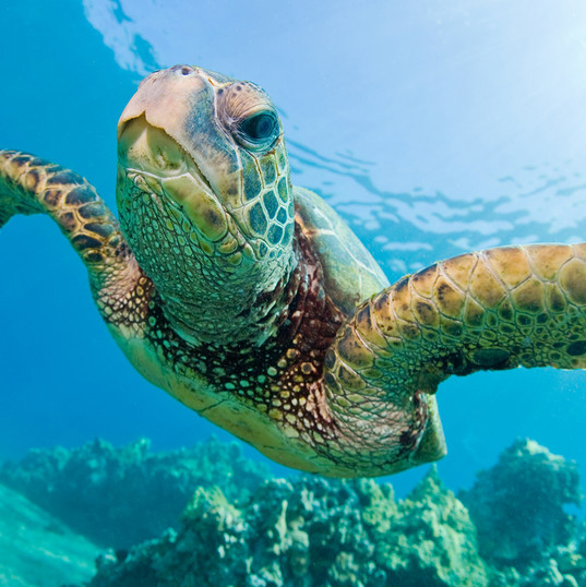 green-sea-turtle-swimming.jpg
