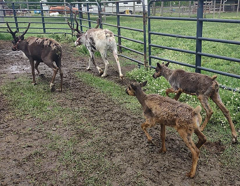 Mom and Baby Reindeer.png