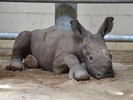 First-Ever White Rhino Calf Born at the Virginia Zoo