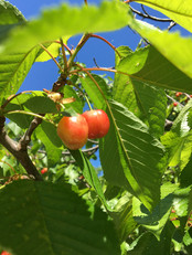 Cherries from Céret