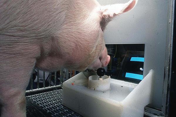 gamer-pigs-5.jpg