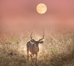 Full Buck Moon 2018