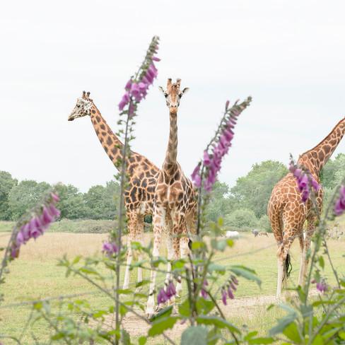 Aude Sirvain Animals Tirage Girafes