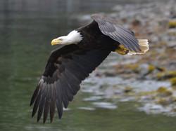 Eagles at Lake Coeur d' Alene