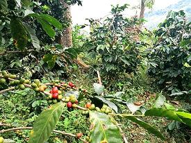 Im Einklang mit der Natur Kaffee anbauen