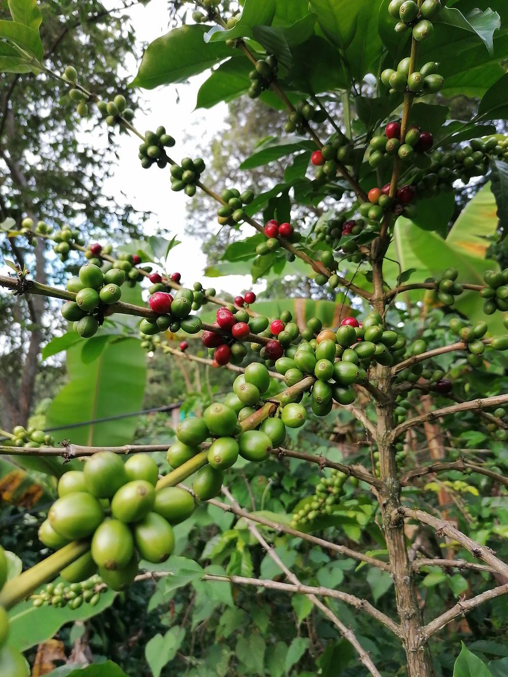 Kaffeepflanze mit Früchten auf biodiverser Plantage