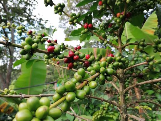 Kaffee – eine Bohne erobert die Welt
